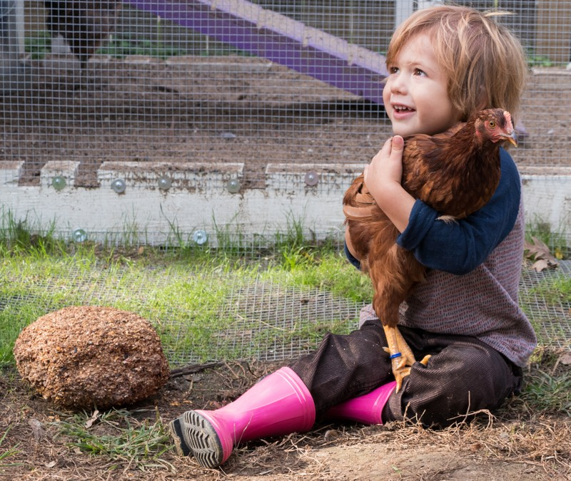 Three-year-old Cole Petersen holding one of Moline's newly legal chickens.